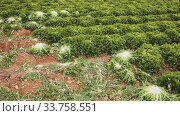 Lettuce growing on the field. Стоковое видео, видеограф Яков Филимонов / Фотобанк Лори