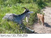 Купить «Рогатый домашний серый козел (лат. Capra aegagrus hircus) и рыжий кот летом на пастбище», фото № 33759259, снято 26 августа 2019 г. (c) Малышев Андрей / Фотобанк Лори