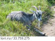 Купить «Домашний серый козел (лат. Capra aegagrus hircus)», фото № 33759275, снято 26 августа 2019 г. (c) Малышев Андрей / Фотобанк Лори