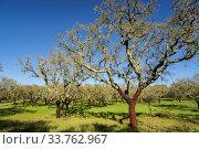 Купить «Alcornoques descorchados,Quercus suber,Os Almendres, distrito de Evora, Alentejo, Portugal, europa.», фото № 33762967, снято 5 июня 2020 г. (c) easy Fotostock / Фотобанк Лори