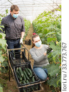 Farmer couple in medical masks harvesting cucumbers. Стоковое фото, фотограф Яков Филимонов / Фотобанк Лори