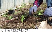 Купить «Women's hands plant sprouts in the ground in the greenhouse. Farming, Gardening, Agriculture and People Concept», видеоролик № 33774407, снято 16 мая 2020 г. (c) Алексей Кузнецов / Фотобанк Лори