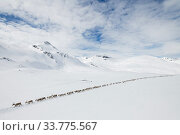 Reindeer herders moving a large flock of semi-domesticated Reindeer (Rangifer tarandus), with the help of snowmobiles, to the reindeer calving areas in... Стоковое фото, фотограф Erlend Haarberg / Nature Picture Library / Фотобанк Лори