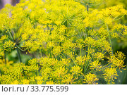 Inflorescence of dill. Стоковое фото, фотограф Юлия Бабкина / Фотобанк Лори