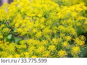 Купить «Inflorescence of dill», фото № 33775599, снято 1 августа 2019 г. (c) Юлия Бабкина / Фотобанк Лори