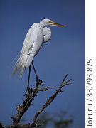 Купить «Great Egret (Ardea alba) perched on branch, Louisiana, USA», фото № 33793875, снято 13 июля 2020 г. (c) Nature Picture Library / Фотобанк Лори