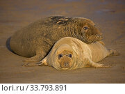 Купить «Grey seal (Halichoerus grypus), mother and young on beach, UK», фото № 33793891, снято 3 августа 2020 г. (c) Nature Picture Library / Фотобанк Лори