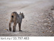 Купить «Rocky Mountain Lynx Alberta Canada Close young», фото № 33797483, снято 10 июля 2020 г. (c) age Fotostock / Фотобанк Лори