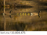 Купить «Canada goose (Branta canadensis) pair with goslings, a few days old. Massachusetts, USA. April.», фото № 33804475, снято 25 мая 2020 г. (c) Nature Picture Library / Фотобанк Лори
