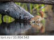 American red squirrel (Tamiasciurus hudsonicus) drinking  in a beaver pond early in the morning. Acadia National Park, Maine, USA. Редакционное фото, фотограф George Sanker / Nature Picture Library / Фотобанк Лори