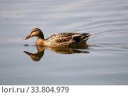Самка кряквы в воде (Anas platyrhynchos) Стоковое фото, фотограф Щеголева Ольга / Фотобанк Лори