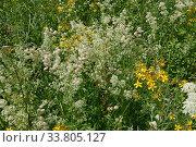 St John's wort (Hypericum perforatum), Bladder campion (Silene... Стоковое фото, фотограф Nigel Cattlin / Nature Picture Library / Фотобанк Лори