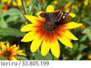Бабочка Адмирал (лат. Vanessa atalanta) собирает нектар на цветке рудбекии. Стоковое фото, фотограф Елена Коромыслова / Фотобанк Лори