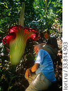 Sir David Attenborough and cameraman Michael Pitts next to Titan arum (Amorophallus titanum) flower,  taken on location for BBC tv series  Private Life of Plants, 1993. Редакционное фото, фотограф Michael Pitts / Nature Picture Library / Фотобанк Лори