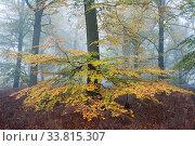 Beech woodland (Fagus sylvatica) Peerdsbos, Brasschaat, Belgium, November. Стоковое фото, фотограф Bernard Castelein / Nature Picture Library / Фотобанк Лори