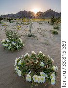 Birdcage evening primrose (Oenothera deltoides) and desert golds (Geraea canescens) carpet the sandy washes beneath the Calumet Mountains at dawn. Mojave... Стоковое фото, фотограф Jack Dykinga / Nature Picture Library / Фотобанк Лори