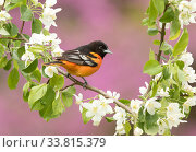 Купить «Baltimore oriole (Icterus galbula) male perched in pear (Pyrus sp.) blossom, eastern redbud in background, New York, USA. May.», фото № 33815379, снято 3 июня 2020 г. (c) Nature Picture Library / Фотобанк Лори