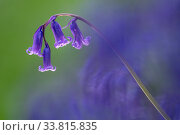 Bluebell (Hyacinthoides non-scripta) flower, Broxwater, Cornwall, UK. April. Стоковое фото, фотограф Ross Hoddinott / Nature Picture Library / Фотобанк Лори
