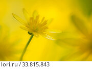 Lesser celandine flower (Ranunculus ficaria), Cornwall, England, UK. April. Стоковое фото, фотограф Ross Hoddinott / Nature Picture Library / Фотобанк Лори