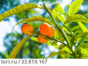 Купить «Кумкват, фортунелла маргарита. Summer background. Kumquat fruits in summer garden, closeup. Fortunella margarita kumquats», фото № 33819167, снято 6 июня 2019 г. (c) Зезелина Марина / Фотобанк Лори
