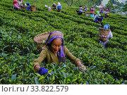 Купить «India, West Bengal, Darjeeling, Castleton tea estate, tea picker picking tea leaves.», фото № 33822579, снято 1 ноября 2019 г. (c) age Fotostock / Фотобанк Лори