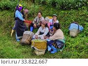 Купить «India, West Bengal, Darjeeling, Phubsering Tea Garden, tea garden, tea picker picking tea leaves.», фото № 33822667, снято 5 ноября 2019 г. (c) age Fotostock / Фотобанк Лори