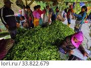 Купить «India, West Bengal, Darjeeling, Phubsering Tea Garden, tea garden, tea picker picking tea leaves, weighed of the harvest.», фото № 33822679, снято 5 ноября 2019 г. (c) age Fotostock / Фотобанк Лори