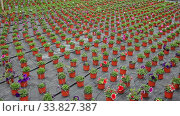 Купить «Various colorful cultivars of potted petunia cultivated in hothouse», видеоролик № 33827387, снято 12 июля 2020 г. (c) Яков Филимонов / Фотобанк Лори