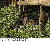 Купить «European rabbit (Oryctolagus cuniculus) using a trail under a fence separating a garden from surrounding woodland and meadows at night, Wiltshire, UK, April.», фото № 33827527, снято 28 мая 2020 г. (c) Nature Picture Library / Фотобанк Лори