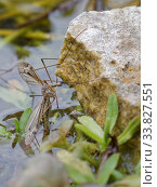 Купить «Cranefly (Tipula lateralis) female, of a distinctively patterned early spring semi-aquatic species, laying eggs in a garden pond, Wiltshire, UK, April.», фото № 33827551, снято 22 мая 2020 г. (c) Nature Picture Library / Фотобанк Лори