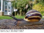 Купить «White-lipped snail (Cepaea hortensis) crawling over an oak sleeper retaining a garden lawn with a greenhouse in the background, Wiltshire, UK, April.», фото № 33827567, снято 29 мая 2020 г. (c) Nature Picture Library / Фотобанк Лори