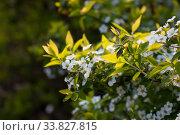 Купить «Spirey May bride in summer sunny day», фото № 33827815, снято 22 марта 2020 г. (c) Марина Володько / Фотобанк Лори