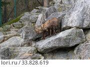 Два альпийских козерога, или ибекса, бодаются (лат.  Capra ibex). Альпийский зоопарк, Инсбрук, Австрия. Стоковое фото, фотограф Сергей Рыбин / Фотобанк Лори