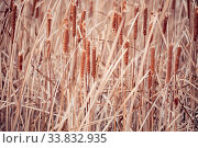 Купить «Reeds background. Brushwood of cane blowing in the wind. Wild grass next to water. Tuft of grass.», фото № 33832935, снято 1 июня 2020 г. (c) easy Fotostock / Фотобанк Лори