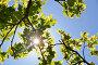 Купить «Солнце светит сквозь дубовые листья», фото № 33836979, снято 10 мая 2013 г. (c) Овчинникова Ирина / Фотобанк Лори