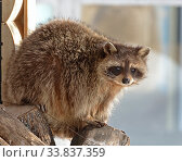 Portrait of funny Raccoon (Procyon lotor) in winter. Стоковое фото, фотограф Валерия Попова / Фотобанк Лори