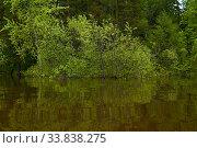 Купить «Flowering willow flooded during spring flood», фото № 33838275, снято 15 мая 2020 г. (c) Евгений Харитонов / Фотобанк Лори