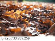 Купить «Fallen oak leaves in the sunlight.», фото № 33839259, снято 5 ноября 2019 г. (c) Елена Блохина / Фотобанк Лори