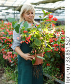 Купить «Female gardener working with red begonia plants in pots in greenhouse», фото № 33851527, снято 20 августа 2018 г. (c) Яков Филимонов / Фотобанк Лори