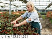 Mature female gardener with scissors cutting begonia plants in greenhouse. Стоковое фото, фотограф Яков Филимонов / Фотобанк Лори