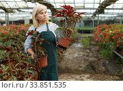 Woman florist gardening begonia plants in pots indoors in greenhouse. Стоковое фото, фотограф Яков Филимонов / Фотобанк Лори