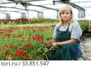 Mature female gardener with scissors cutting vervena plants in greenhouse. Стоковое фото, фотограф Яков Филимонов / Фотобанк Лори