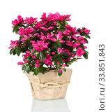 Beautiful pink blooming azalea isolated in pot on white background. Стоковое фото, фотограф Сергей Молодиков / Фотобанк Лори