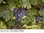 Купить «Niagara on the Lake Ontario Canada Wine Country», фото № 33852943, снято 1 июня 2020 г. (c) age Fotostock / Фотобанк Лори