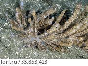 Long-cirri Phyllodesmium Nudibranch (Phyllodesmium longicirrum), Laha dive site, Ambon, Maluku, Indonesia, Banda Sea. Стоковое фото, фотограф Colin Marshall / age Fotostock / Фотобанк Лори