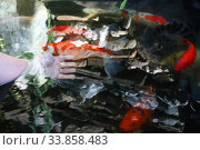 Female hand in a decorative pond with Chinese carps. Стоковое фото, фотограф Марина Володько / Фотобанк Лори