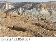 Купить «Young Nubian ibexes (Capra nubiana sinaitica) on background of Negev desert mountains of southern Israel», фото № 33859007, снято 15 августа 2019 г. (c) Валерия Попова / Фотобанк Лори