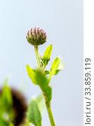 Closeup burdock flower on the lawn. Стоковое фото, фотограф Евгений Ткачёв / Фотобанк Лори