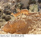 Купить «Young Nubian ibexes (Capra nubiana sinaitica) in Negev desert mountains of southern Israel. Summer day», фото № 33859215, снято 15 августа 2019 г. (c) Валерия Попова / Фотобанк Лори
