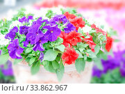 Colorful petunia flowers, Grandiflora is the most popular variety of petunia, with large single or double flowers that form mounds of colorful solid, striped, or variegated blooms. Стоковое фото, фотограф Zoonar.com/Pinrath Phanpradith / easy Fotostock / Фотобанк Лори